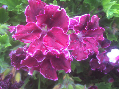 Gorgeous - 30 geranium pelargonium cuttings - 10 varieties - free postage
