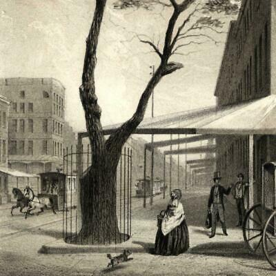 Pear Tree Planted 3rd & 13th streets by Stuyvesant 1861 New York city view print