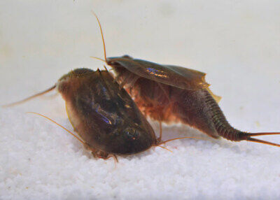 Triops Cancriformis Mallorca breeding approach by Triops King