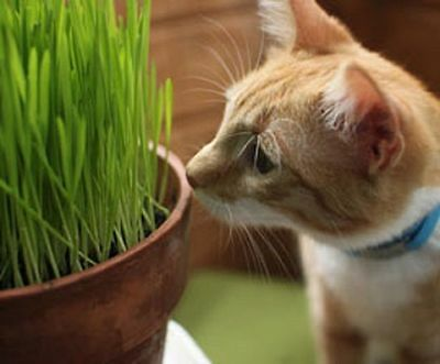 1/2 LB ORGANIC SPROUTING Hard Red WHEAT GRASS SEEDS for Pets Cats Dogs HEALTH
