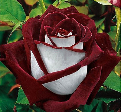 25x Rare Multi-Colours Red and White Rose Seeds Garden Plant UK Seller