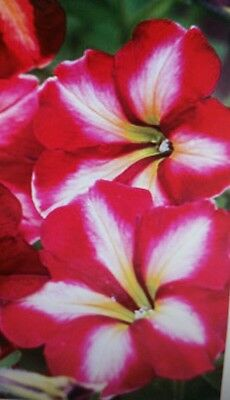 Petunia Cha-Ching Cherry Flower Seeds