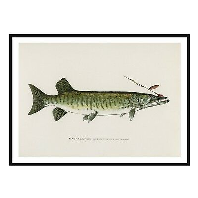 Pike Musky Vintage Fishing Poster A2 A3