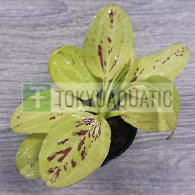 Echinodorus Yellow Flame Sun Pot Live Aquarium Plants Aquatic Amazon Sword Roots