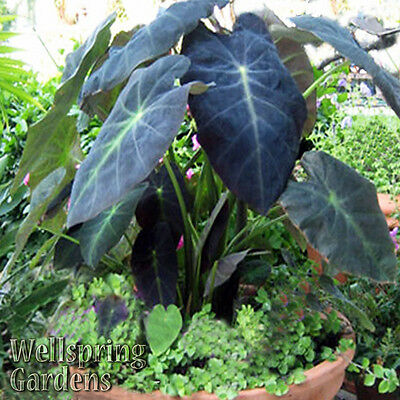 ELEPHANT EAR - COLOCASIA antiquorum 'Black Beauty' Live Plant Unique tropical