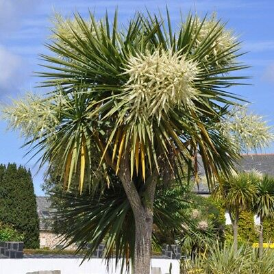 1000 / 1200 CORDYLINE AUSTRALIS Semi, Seeds