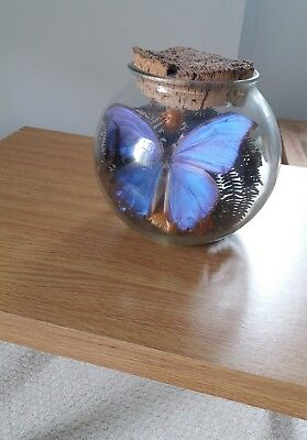 Antique blue morpho butterfly in glass  dome taxidermy