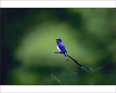 "18425934 10""x8"" (25x20cm) Print Blue-and-white flycatcher (Cyanop..."