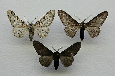 Biston betularia - Peppered Moth   3 x male