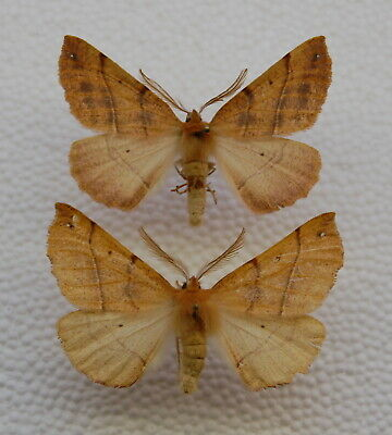 Colotois pennaria  - Feathered Thorn – 2x male