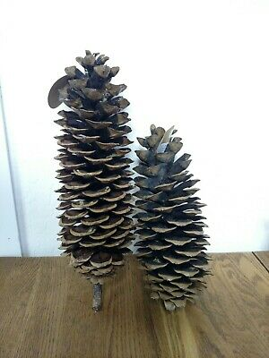 Pair of natural sugar pine pinecones, eco-friendly home decor, mountain lodge