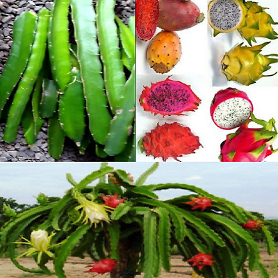 BULK LOT OF 6 Assorted Drought Tolerant Dragon Fruit Tip Cuttings Easy To  Root!