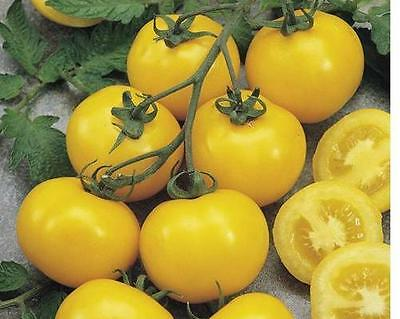 10 Tomato Ponderosa ( Sel. Larosa) Seeds Vegetable Tomato Vegetable Seeds Ortho
