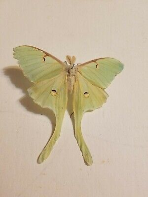 One Real Green Luna Moth Or Buterfly Wings Vintage Tears On Wings Lqqk Pictures