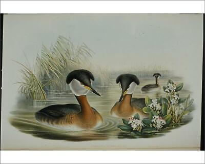 "18642123 10""x8"" (25x20cm) Print Red-necked Grebe (Podiceps Rubric..."