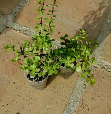 2 x Portulacaria afra, succulent well rooted plants
