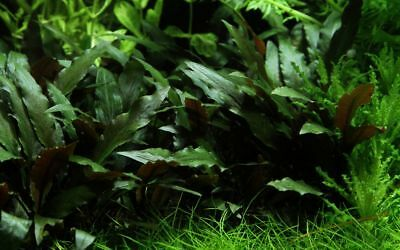 Aquarium Plante Cryptocoryne Beckettii 'Petchii' Tropica Pot de Nr.108a