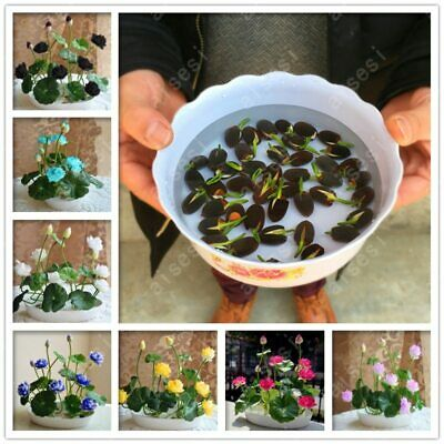 Bonsai Flower lotus flower for summer 100% real Bowl lotus Plant Seeds x5