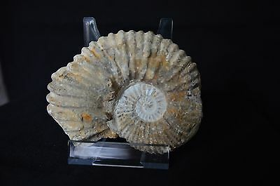 Ammonite from Madagascar PROSOSPHINCTES CRETACEOUS AMMONITE 12,5 cm 4 cm depth