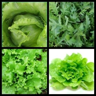 Lettuce Rucola Collection Patio Kitchen Garden Greenhouse EU Standard Seeds