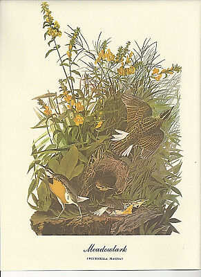Meadowlark Audubon Bird Print Picture Plate Poster Bookplate
