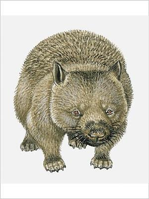 "16""x12"" (41x30cm) Print Illustration of Common Wombat (Vombatus u..."