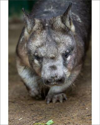 "10""x8"" (25x20cm) Print of Southern hairy-nosed wombat from"