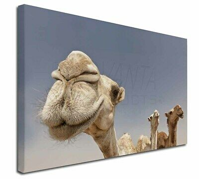 "Camels Intrigued by Camera 30""x20"" Wall Art Canvas, Extra Large Pic, CAM-1-C3020"