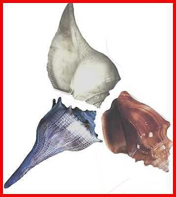 3 Jumbo Seashells Extra LARGE Hermit Crab Changing Shells