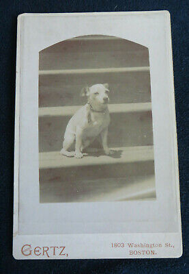 Late 1800's Cabinet Card Photo of dog posing on steps for portrait Boston MA