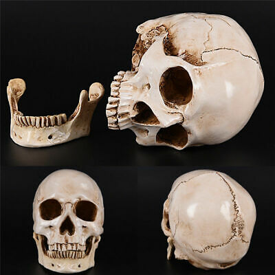 Halloween Realistic Human Skull Replica Resin Model Medical Art Teach Life Size