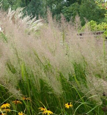 pink red Calamagrostis brachytricha 20 Seeds Feather Reed Grass silver