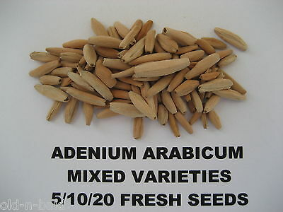 Adenium Arabicum Mixed Fresh and Viable Seeds ~ Bonsai ~ Free seed offer!