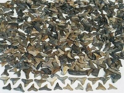 Lot (100) Miocene Epoch Fossil Shark Teeth Bull Lemon Tiger Snaggletooth Ect