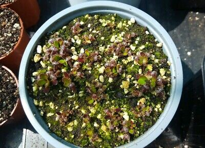 Cephalotus Follicularis pot full of young seed grown plants D