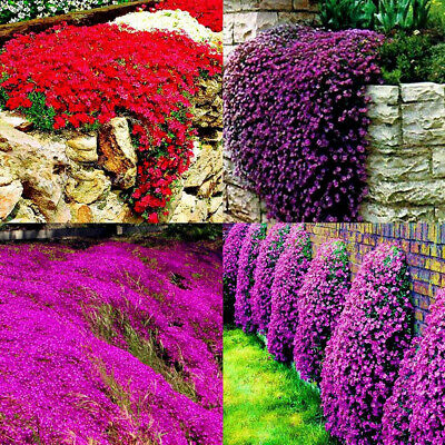 Wo_ 10/20Pcs Rock Cress Seeds Cover Thyme Flower Plant Garden Yard Balcony Decor