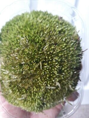 Live Bio Active pillow/frog moss for terrarium, viv, mini garden or fairygarden.
