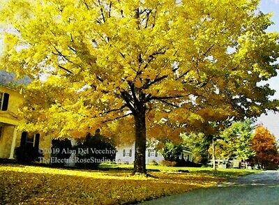 Fall Maple on Elm Street  -- Landscape Digital Pigment Print by Alan Del Vecchio