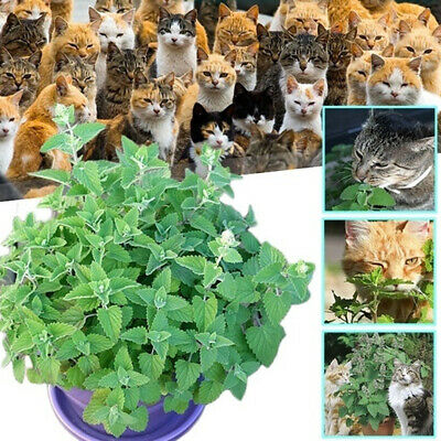 250/500Pcs Nepeta Cataria Seeds Catnip Catmint Herb Plant Garden Bonsai Cat Gift