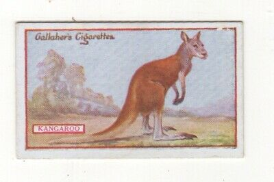 Birds and Animals cigarette card 1921 - Red Kangaroo