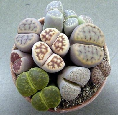 Lithops / Living Stones ~ 50+ Seeds Mixed Varieties ~ High Quality Seed!