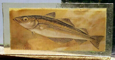Stained Glass Pollack fish - rare Kiln fired transfer / painted vintage pane!