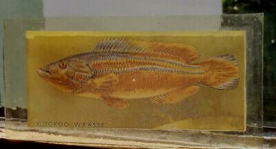 Stained Glass Cuckoo Wrasse fish -  Kiln fired transfer / painted fishing pane!