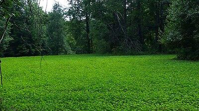 40 lbs Alfalfa, Ladino Clover, Red Clover, Chicory Deer Food Plot Seed Mix