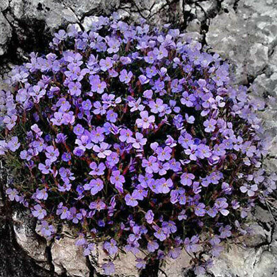 WO_ 100 Seeds Rock Cress Seed Ground Perennial Creeping Flower Garden Plant Deco