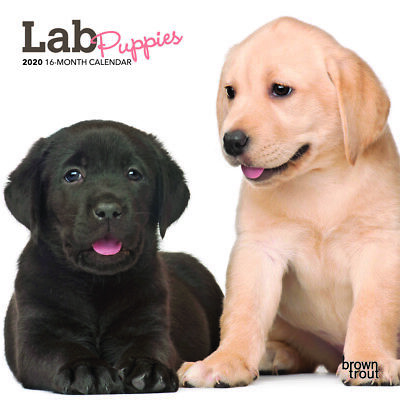 Lab Puppies 2020 Mini Wall Calendar by Browntrout