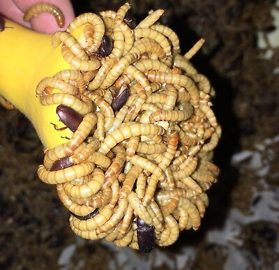 2500 Live Medium High Quality Mealworms ORGANICALLY Raised in the (PNW)