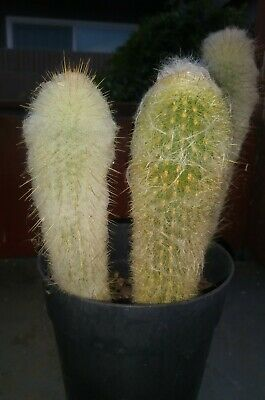 "Espostoa Peruvian Old Lady Cactus Shipped Bare Root Approx 8-10"" (1) ea. Order"