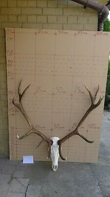 Epic red deer antlers skull great taxidermy ornament wall hanging home decor art