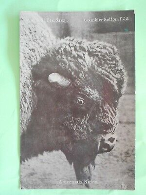 Signed & numbered Gambier Bolton postcard American Bison animal Studies c 1904